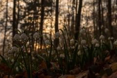 Frühlingsknotenblume, Märzenbecher