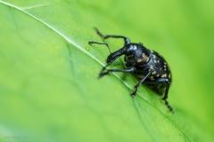 Rüsselkäfer-Liparus-glabrirostris