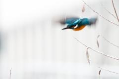 Eisvogel_U.Pflug_011