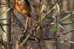 Eisvogel_U.Pflug_021