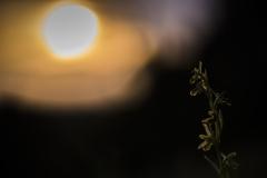 Kleine Spinnen-Ragwurz (Ophrys araneola)