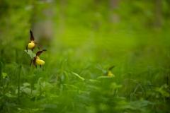 Gelbe Frauenschuh (Cypripedium calceolus)