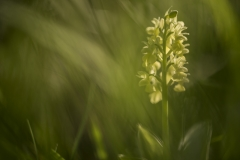 Blasse Knabenkraut (Orchis pallens)