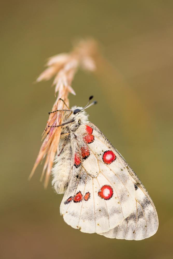 Apollofalter (Parnassius apollo)