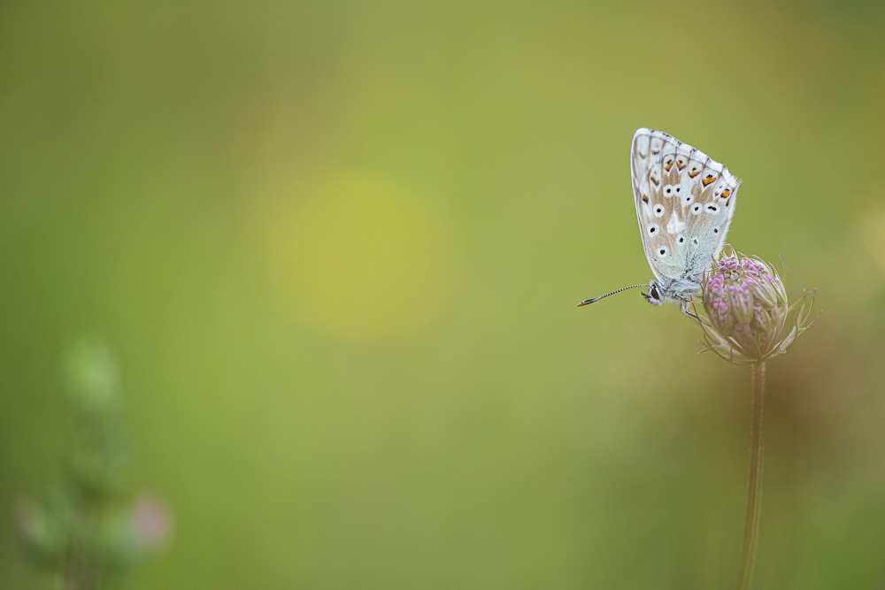 Himmelblaue Bläuling (Polyommatus Meleageria)