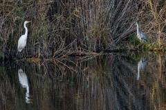 Silber- und Graureiher mit Eisvogel