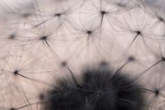 Gewöhnlicher Löwenzahn (Taraxacum sect. Ruderalia, auch Pusteblume)