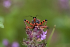 Rote Mordwanze (Rhynocoris iracundus)
