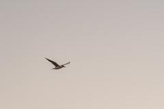 Lachseeschwalbe